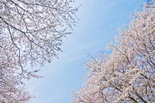 桜の木の下で1 FYI00153819