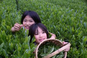 茶摘み FYI00154202