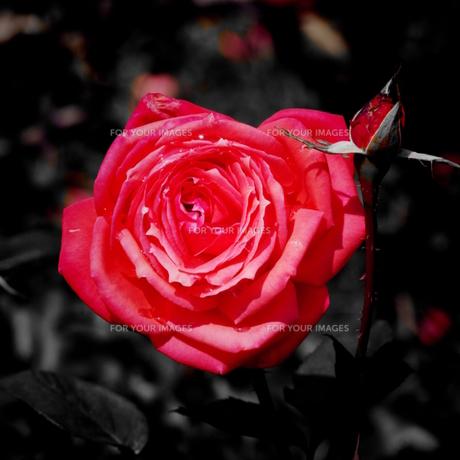 薔薇 FYI00164049