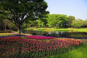 チューリップ咲く公園 FYI00165449