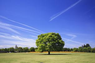 けやきの大樹 FYI00165641