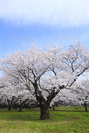 満開のソメイヨシノ桜 FYI00165660