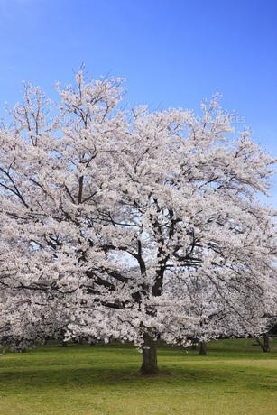 満開のソメイヨシノ桜 FYI00165664