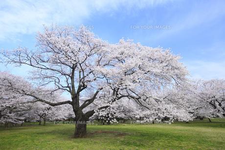 満開のソメイヨシノ桜 FYI00165669
