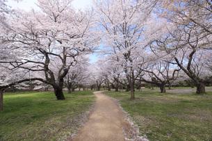 満開のソメイヨシノ桜 FYI00165671