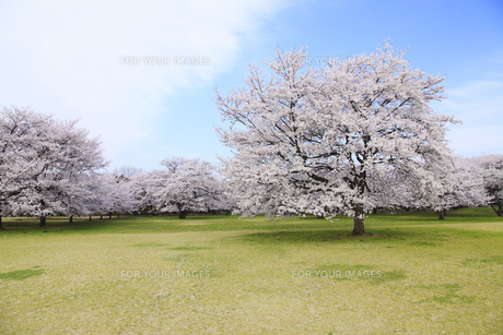 満開のソメイヨシノ桜咲く春の公園 FYI00165672