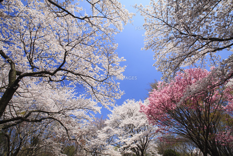 満開のソメイヨシノ桜 FYI00165676