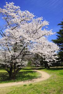 満開のソメイヨシノ桜 FYI00165688