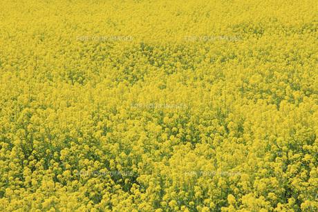 菜の花畑 FYI00165695