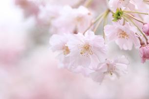 桜 FYI00165703