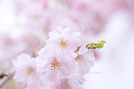 桜 FYI00165704