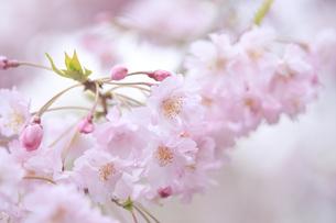桜 FYI00165710