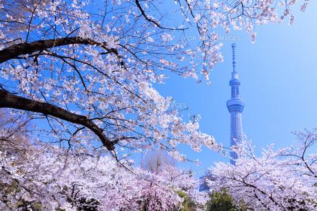 桜と東京スカイツリー FYI00165901