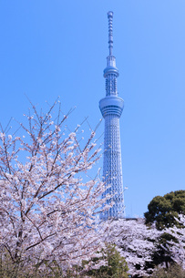 桜と東京スカイツリー FYI00165913