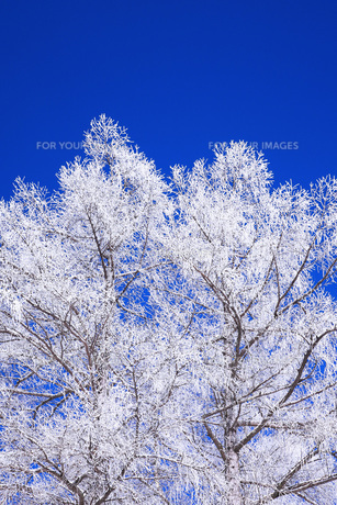 冬の樹木 FYI00166097