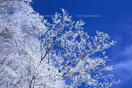 冬の樹木 FYI00166112