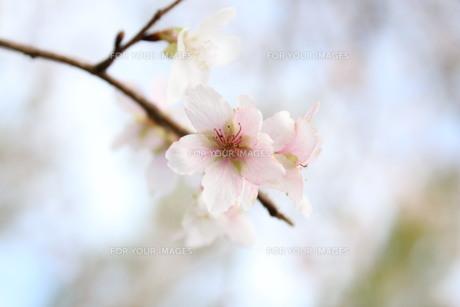 季節外れの桜 FYI00168505