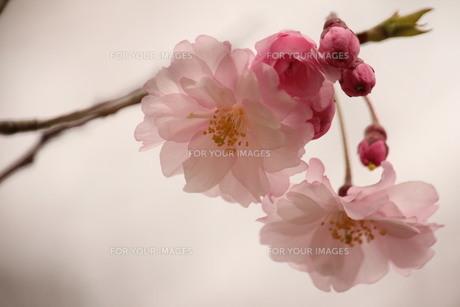 桜 FYI00168528