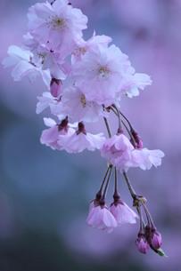 枝垂れ桜 FYI00168529