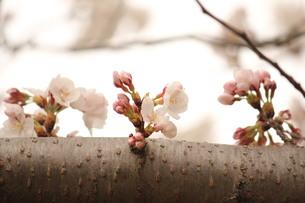 これから咲きます FYI00168545