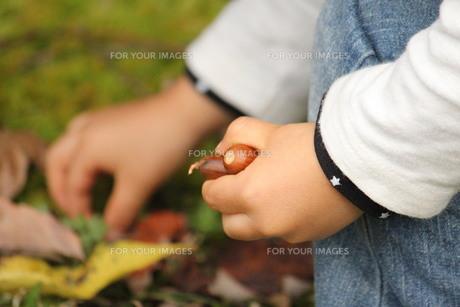 小さい手にどんぐり FYI00168562