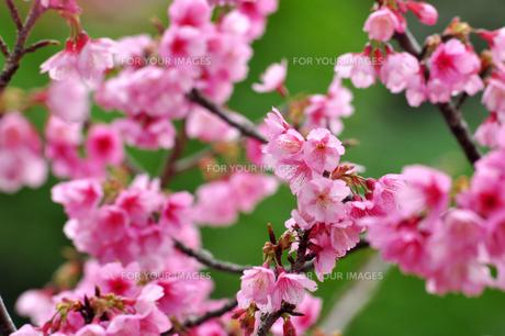 桜 日本一早咲きの寒緋さくら FYI00169841
