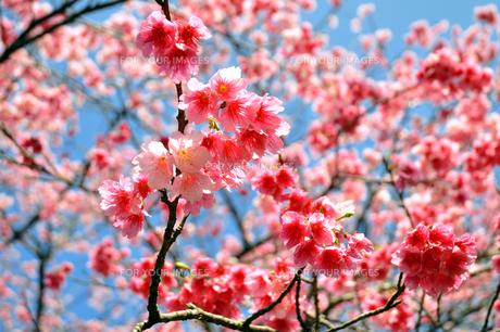 桜 日本一早咲きのさくら FYI00169843