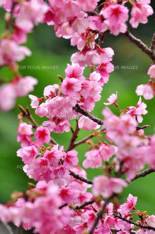 桜 日本一早咲きのさくら FYI00169844