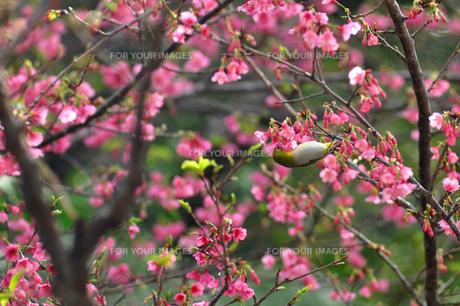 メジロと桜 FYI00169847