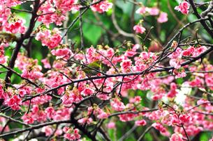 日本一早咲きの寒ひ桜 FYI00169853
