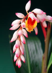 植物 月桃(ゲットウ)の花  FYI00169854