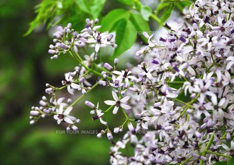 花 センダン木 FYI00169856