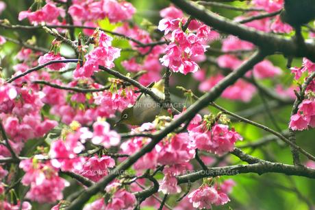 メジロと桜 FYI00169858
