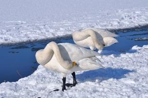 羽づくろいする白鳥 FYI00170041