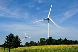 風車と向日葵畑 FYI00170046
