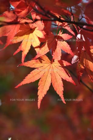 イロハモミジの紅葉 FYI00170076