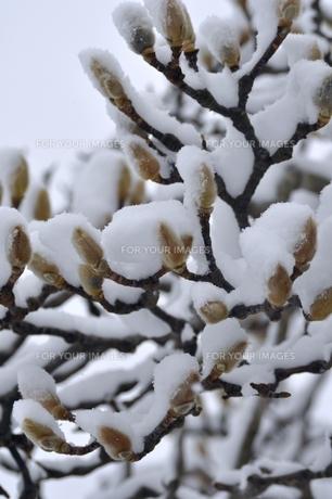 雪を被った木蓮の蕾 FYI00170247