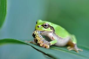 虫を捕食する雨蛙 FYI00170272