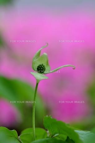 ヤマボウシの花 FYI00170626