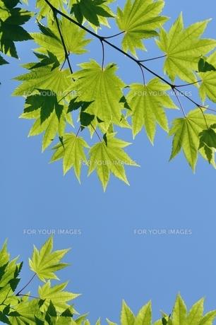 楓の新緑の葉 FYI00170704