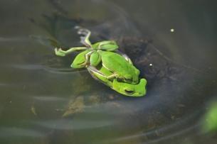 蛙の恋の季節 FYI00170733