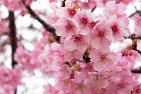 春の訪れ〜桜〜 FYI00173913
