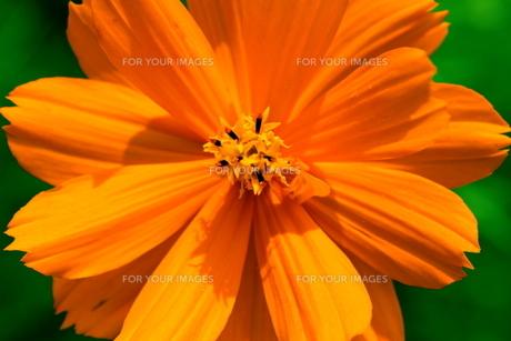 オレンジコスモス FYI00173920