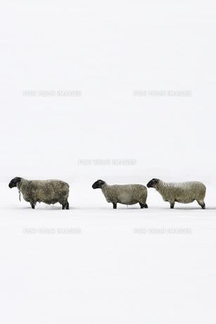 雪の中に羊が3匹並んでる。 FYI00173980