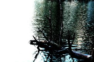 湖に佇む大木 FYI00174062