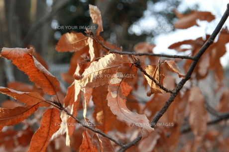 暮れの木の葉 FYI00174074
