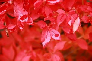 Rainy scarlet2 FYI00174115