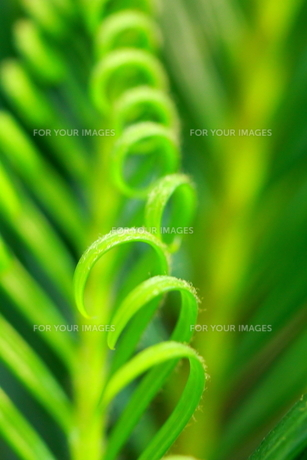 Green-Curl! FYI00174187