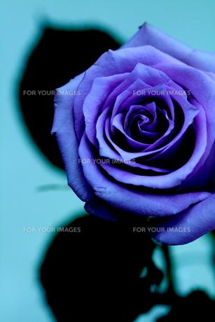 Blue rose-永遠- FYI00174437