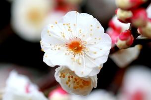 梅の花 FYI00174455